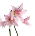 Flores cor de rosa de florescência no fundo branco lírio da estrela hippeastr Fotos de Stock