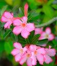 Flores de azalea pink de la mofa del lirio del rose impala del desierto fondo floral hermoso Imagen de archivo libre de regalías