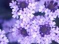Flores do Lilac Fotografia de Stock