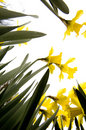 Flores do narciso Imagem de Stock Royalty Free