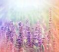 Flores púrpuras del prado iluminadas por la luz del sol Foto de archivo libre de regalías