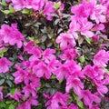 Flores rosa florido Stock Image