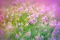 Flores roxas do prado Imagens de Stock Royalty Free