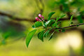 Florescence of apple tree with soft white flowers and green foliage Stock Image
