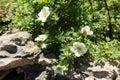 Florescence of Dasiphora fruticosa in rock garden Royalty Free Stock Photo