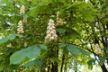 Florescence of horse chestnut tree in spring Royalty Free Stock Photo