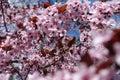 Florescence of prunus pissardii in the garden Royalty Free Stock Photo