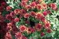 Florescence of red Chrysanthemum bush Royalty Free Stock Photo