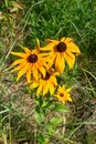 Florescence of rudbeckia red on flower bed Royalty Free Stock Photo