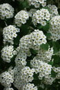 Florescence of Spiraea vanhouttei in spring Royalty Free Stock Photo