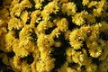 Florescence of yellow Chrysanthemum bush Royalty Free Stock Photo