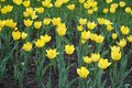 Florescence of yellow tulips in spring Royalty Free Stock Photo