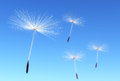 Florets of dandelion some flying seeds are carried by the wind on a blue sky as background Stock Image