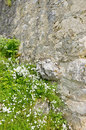 Florets by a wall some ancient rocky stone castle closeup wallflowers as it were Royalty Free Stock Photography
