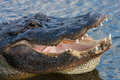Florida alligator opens mouth exposing teeth Royalty Free Stock Photography