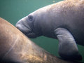 Florida a baby west indian manatee nursing by pushing against its mother s teats located behind the mother's flippers Stock Images