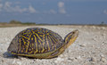 Florida box turtle beautiful female crossing a dirt road in big cypress national preserve Stock Image