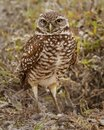 Florida Burrowing Owl Athene cunicularia floridana Royalty Free Stock Photo