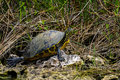 Florida cooter, everglades Royalty Free Stock Photo