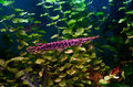 Florida gar fish Royalty Free Stock Photo