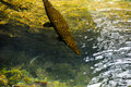 Florida gar a swimming at homosassa springs Stock Images