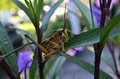 Florida giant orange grasshopper in mexican petunia with purple flowers in background out of focus Royalty Free Stock Images