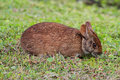 Florida Marsh Hare Stock Images