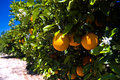 Florida orange grove Royalty Free Stock Image