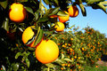 Florida Oranges Royalty Free Stock Photo