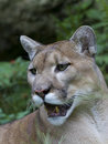 Florida panther - puma concolor Royalty Free Stock Photo