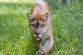 Florida Panther walks through high grass Royalty Free Stock Photo