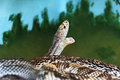 Florida Pine Snake with Mouth Open Royalty Free Stock Photo