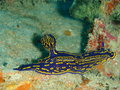 Florida regal sea goddess blue and yellow nudibranch called Royalty Free Stock Image