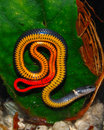 Florida Ringneck Snake Royalty Free Stock Images