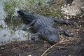 Florida`s Aligator