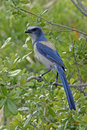Florida scrub jay Royalty Free Stock Photos