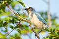 Florida scrub jay aphelocoma coerulescens perched rare on branch cape coral Royalty Free Stock Photos