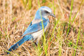 Florida scrub jay aphelocoma coerulescens rare in field of grass cape coral Royalty Free Stock Photos