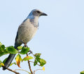 Florida scrub jay aphelocoma coerulescens in wild perched on tree branch Stock Photography