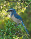 Florida scrub jay a banded a federally threatened species perches in the bushes of its habitat in a central wildlife Royalty Free Stock Photography
