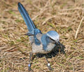 Florida Scrub Jay bird Stock Photos