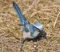Florida Scrub Jay bird Royalty Free Stock Photo