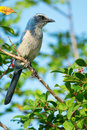 Florida scrub jay staring rare perched on a branch Stock Photo