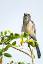 Florida scrub jay staring rare perched on a branch Royalty Free Stock Photo
