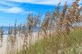 Florida Sea Oats on the Atlantic Royalty Free Stock Photo