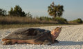 Florida softshell turlte large turtle crossing dirt road in big cypress national preserve Stock Photo