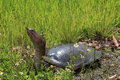 Florida softshell turtle at everglades national park Stock Photo