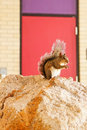 Florida Squirrel on rock Royalty Free Stock Photo