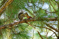 Florida Squirrel on tree eating pine Royalty Free Stock Photo