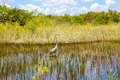 Florida wetland, Airboat ride at Everglades National Park in USA. Royalty Free Stock Photo